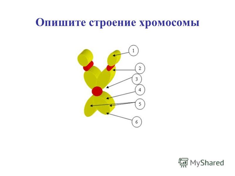 Опишите строение хромосомы