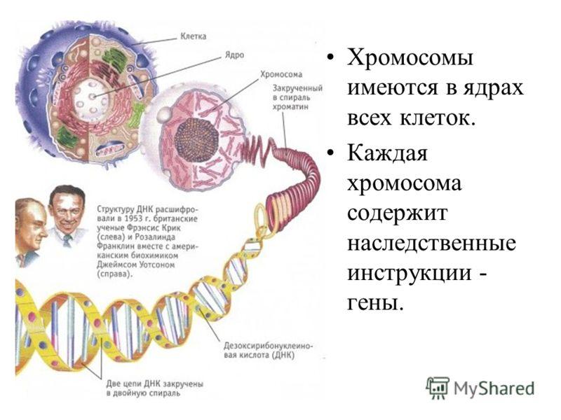 Хромосомы имеются в ядрах всех клеток. Каждая хромосома содержит наследственные инструкции - гены.
