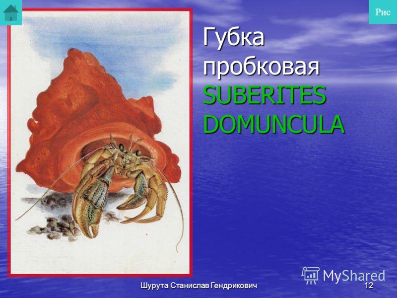 Шурута Станислав Гендрикович11 Гребешок Свифта Это раздельнополый вид. В заливе Петра Великого нерест происходит в августе первой половине сентября. Питается планктонными организмами. Продолжительность жизни до 18 лет. Максимальный размер 132 мм. Рас