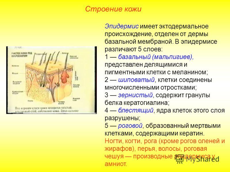 Мембрана базальная