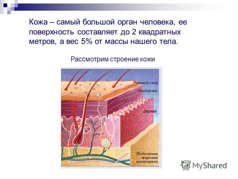 Кожа – самый большой орган человека, ее поверхность составляет до 2 квадратных метров, а вес 5% от массы нашего тела. Рассмотрим строение кожи