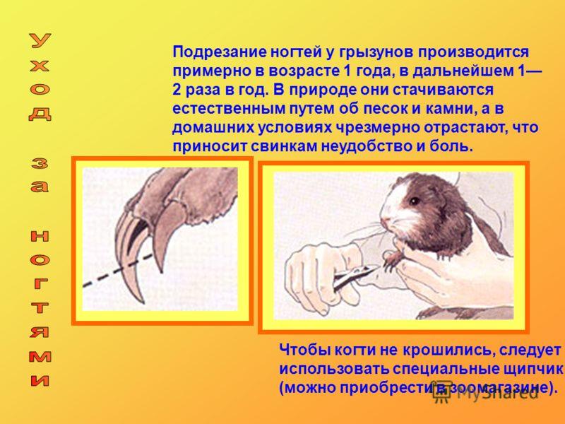 Подрезание ногтей у грызунов производится примерно в возрасте 1 года, в дальнейшем 1 2 раза в год. В природе они стачиваются естественным путем об песок и камни, а в домашних условиях чрезмерно отрастают, что приносит свинкам неудобство и боль. Чтобы