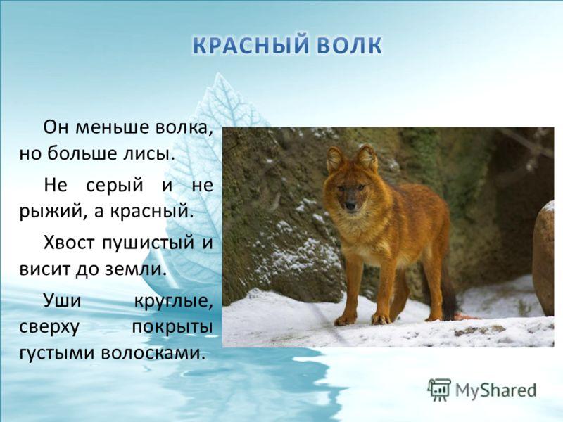 Он меньше волка, но больше лисы. Не серый и не рыжий, а красный. Хвост пушистый и висит до земли. Уши круглые, сверху покрыты густыми волосками.