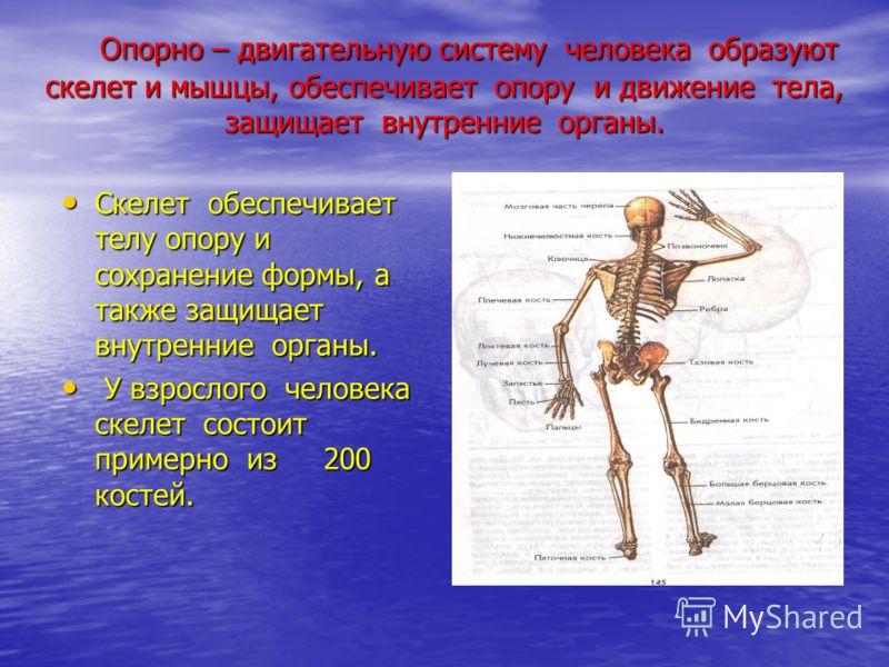 Опорно – двигательную систему человека образуют скелет и мышцы, обеспечивает опору и движение тела, защищает внутренние органы. Опорно – двигательную систему человека образуют скелет и мышцы, обеспечивает опору и движение тела, защищает внутренние ор