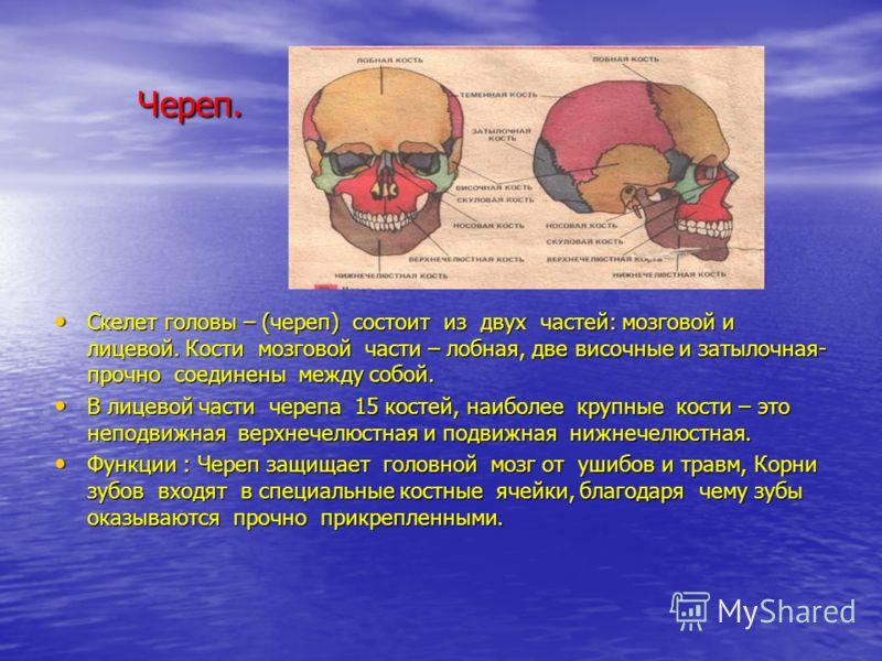 Череп. Череп. Скелет головы – (череп) состоит из двух частей: мозговой и лицевой. Кости мозговой части – лобная, две височные и затылочная- прочно соединены между собой. Скелет головы – (череп) состоит из двух частей: мозговой и лицевой. Кости мозгов