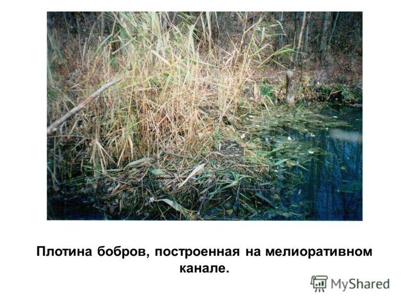 Плотина бобров, построенная на мелиоративном канале.