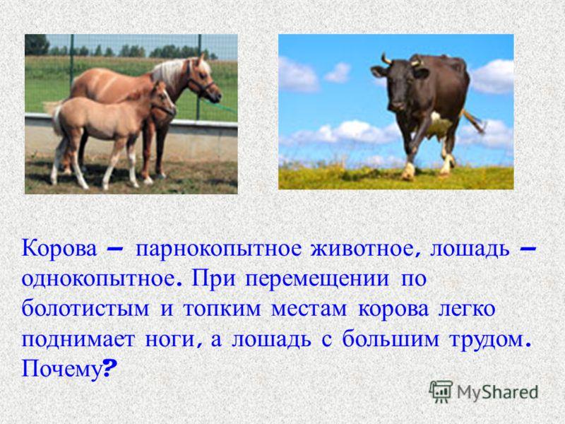 Корова – парнокопытное животное, лошадь – однокопытное. При перемещении по болотистым и топким местам корова легко поднимает ноги, а лошадь с большим трудом. Почему ?