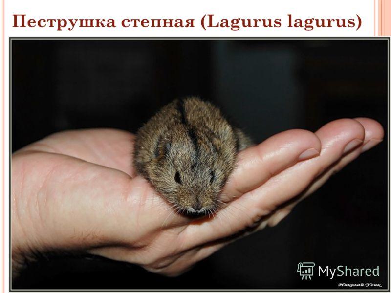 Пеструшка степная (Lagurus lagurus)
