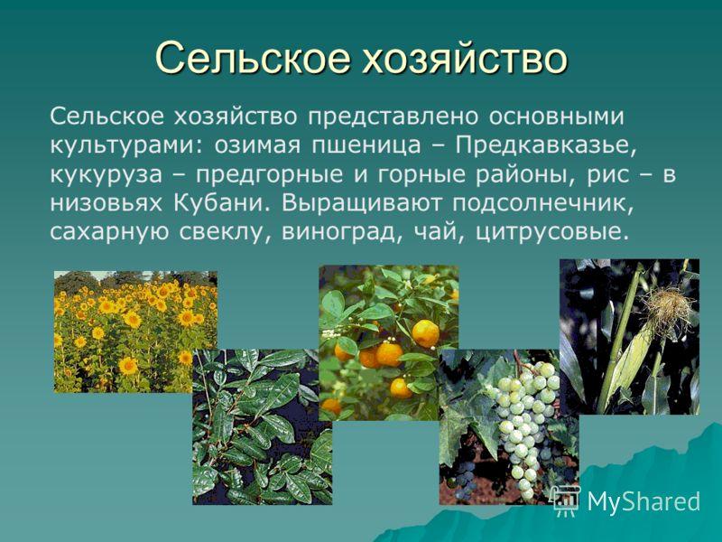 Сельское хозяйство Сельское хозяйство представлено основными культурами: озимая пшеница – Предкавказье, кукуруза – предгорные и горные районы, рис – в низовьях Кубани. Выращивают подсолнечник, сахарную свеклу, виноград, чай, цитрусовые.