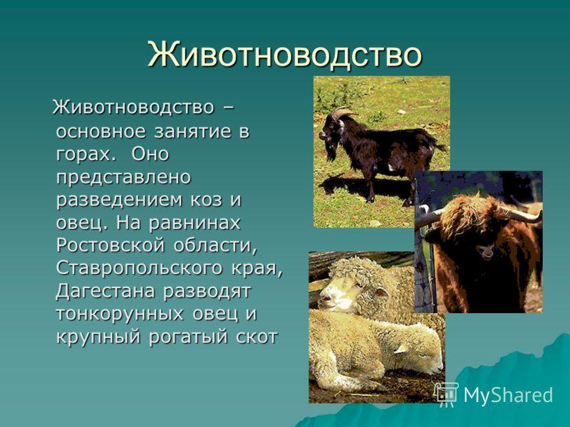 Животноводство Животноводство – основное занятие в горах. Оно представлено разведением коз и овец. На равнинах Ростовской области, Ставропольского края, Дагестана разводят тонкорунных овец и крупный рогатый скот Животноводство – основное занятие в го