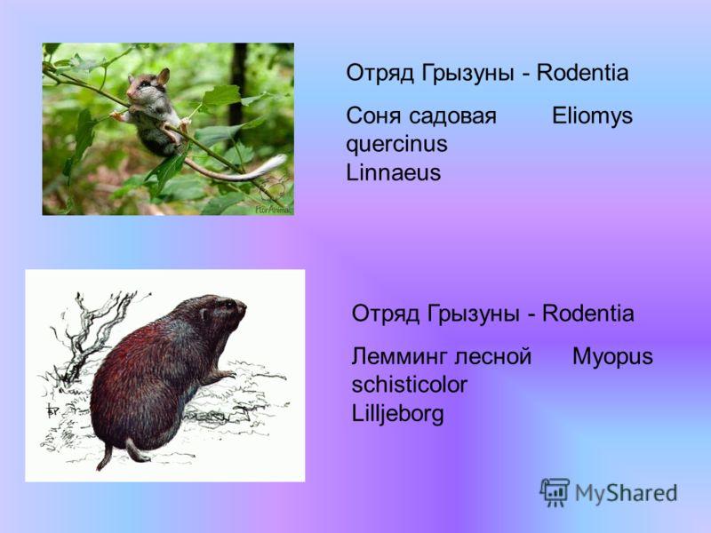 Отряд Грызуны - Rodentia Соня садовая Eliomys quercinus Linnaeus Отряд Грызуны - Rodentia Лемминг лесной Myopus schisticolor Lilljeborg