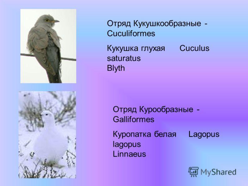 Отряд Кукушкообразные - Cuculiformes Кукушка глухая Cuculus saturatus Blyth Отряд Курообразные - Galliformes Куропатка белая Lagopus lagopus Linnaeus