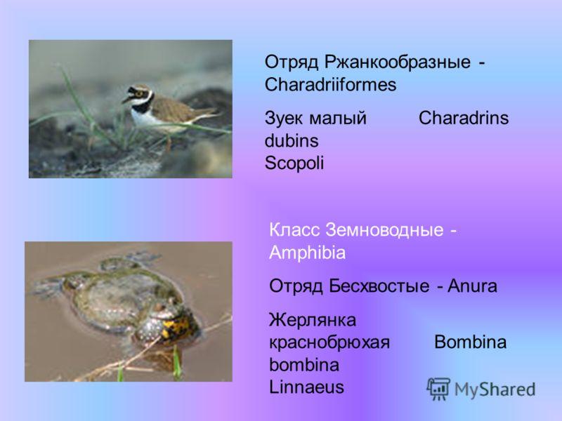 Класс Земноводные - Amphibia Отряд Бесхвостые - Anura Жерлянка краснобрюхая Bombina bombina Linnaeus Отряд Ржанкообразные - Charadriiformes Зуек малый Charadrins dubins Scopoli
