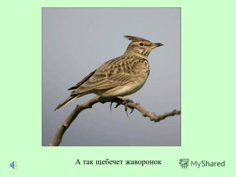 Вот еще один знаменитый птичий певец – скворец. Послушайте, какие трели он выводит.