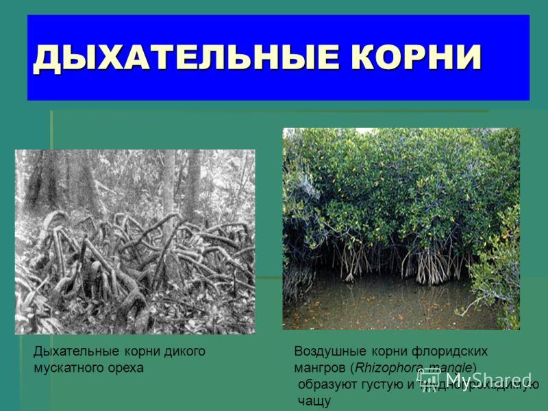 ДЫХАТЕЛЬНЫЕ КОРНИ Дыхательные корни дикого мускатного ореха Воздушные корни флоридских мангров (Rhizophora mangle) образуют густую и труднопроходимую чащу