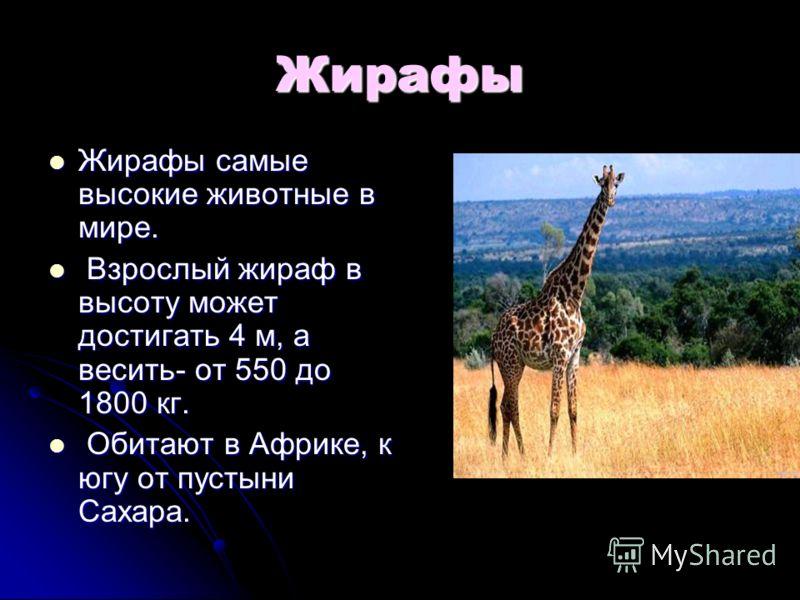 Жирафы Жирафы самые высокие животные в мире. Жирафы самые высокие животные в мире. Взрослый жираф в высоту может достигать 4 м, а весить- от 550 до 1800 кг. Взрослый жираф в высоту может достигать 4 м, а весить- от 550 до 1800 кг. Обитают в Африке, к