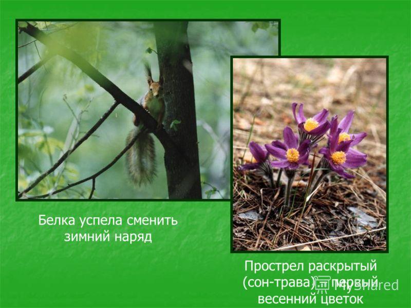 Белка успела сменить зимний наряд Прострел раскрытый (сон-трава) – первый весенний цветок