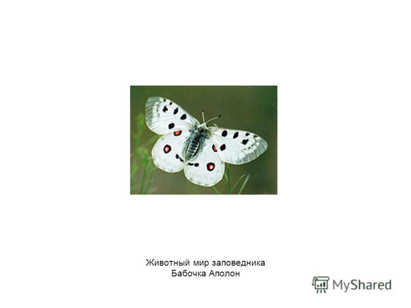 Животный мир заповедника Бабочка Аполон