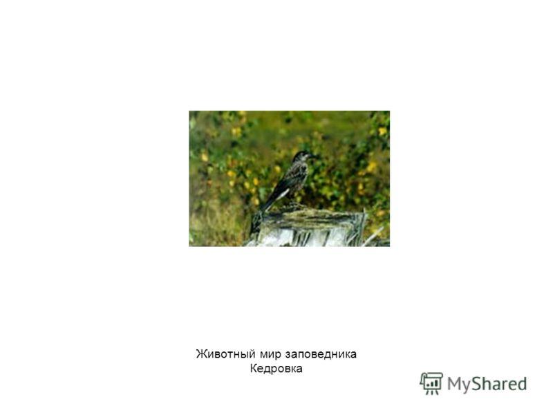 Животный мир заповедника Кедровка
