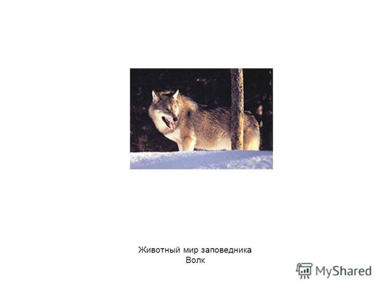 Животный мир заповедника Волк