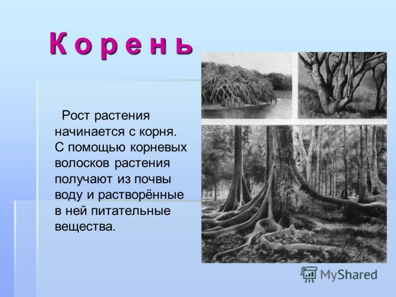 К о р е н ь К о р е н ь Рост растения начинается с корня. С помощью корневых волосков растения получают из почвы воду и растворённые в ней питательные вещества.