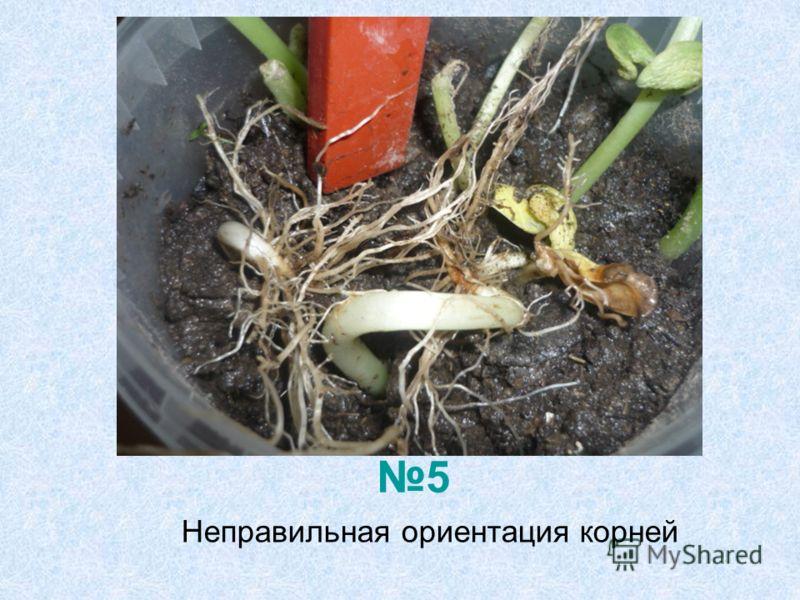 Неправильная ориентация корней 5