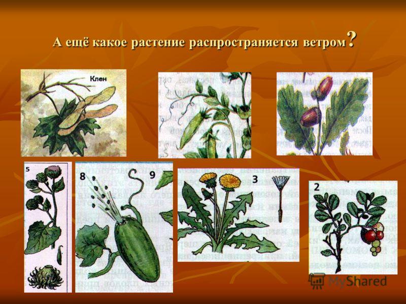 А ещё какое растение распространяется ветром ? А ещё какое растение распространяется ветром ?