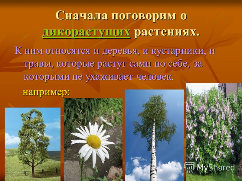 Сначала поговорим о дикорастущих растениях. К ним относятся и деревья, и кустарники, и травы, которые растут сами по себе, за которыми не ухаживает человек. например: например: