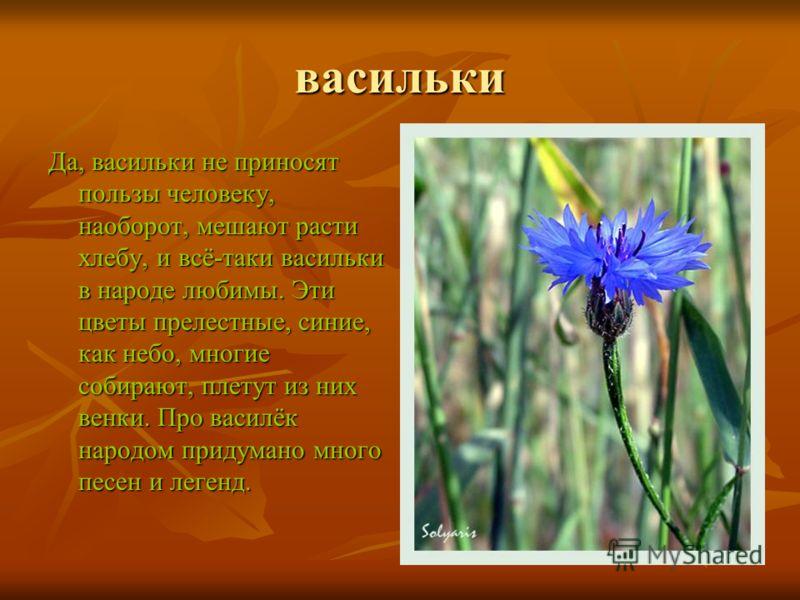 васильки Да, васильки не приносят пользы человеку, наоборот, мешают расти хлебу, и всё-таки васильки в народе любимы. Эти цветы прелестные, синие, как небо, многие собирают, плетут из них венки. Про василёк народом придумано много песен и легенд.