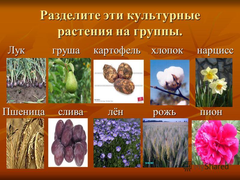 Разделите эти культурные растения на группы. Лук груша картофель хлопок нарцисс Лук груша картофель хлопок нарцисс Пшеница слива лён рожь пион