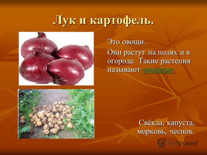 Лук и картофель. Это овощи. Они растут на полях и в огороде. Такие растения называют овощные. Свёкла, капуста, морковь, чеснок.