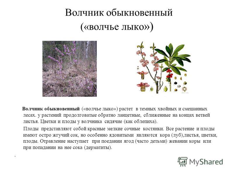 Волчник обыкновенный («волчье лыко ») Волчник обыкновенный («волчье лыко») растет в темных хвойных и смешанных лесах. у растений продолговатые обратно ланцетные, сближенные на концах ветвей листья. Цветки и плоды у волчника сидячие (как облепиха). Пл