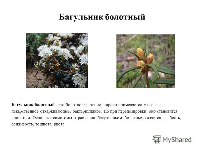 Багульник болотный Багульник болотный - это болотное растение широко применяется у нас как лекарственное отхаркивающее, бактерицидное. Но при передозировки оно становится ядовитым. Основные симптомы отравления багульником болотным является слабость,