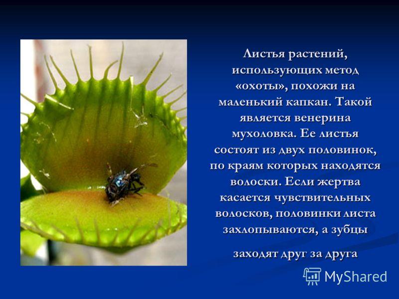 Листья растений, использующих метод «охоты», похожи на маленький капкан. Такой является венерина мухоловка. Ее листья состоят из двух половинок, по краям которых находятся волоски. Если жертва касается чувствительных волосков, половинки листа захлопы