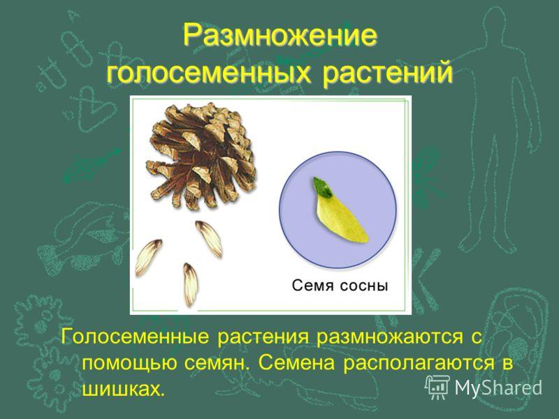 Размножение голосеменных растений Голосеменные растения размножаются с помощью семян. Семена располагаются в шишках.