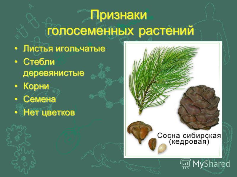 Признаки голосеменных растений Листья игольчатые Стебли деревянистые Корни Семена Нет цветков