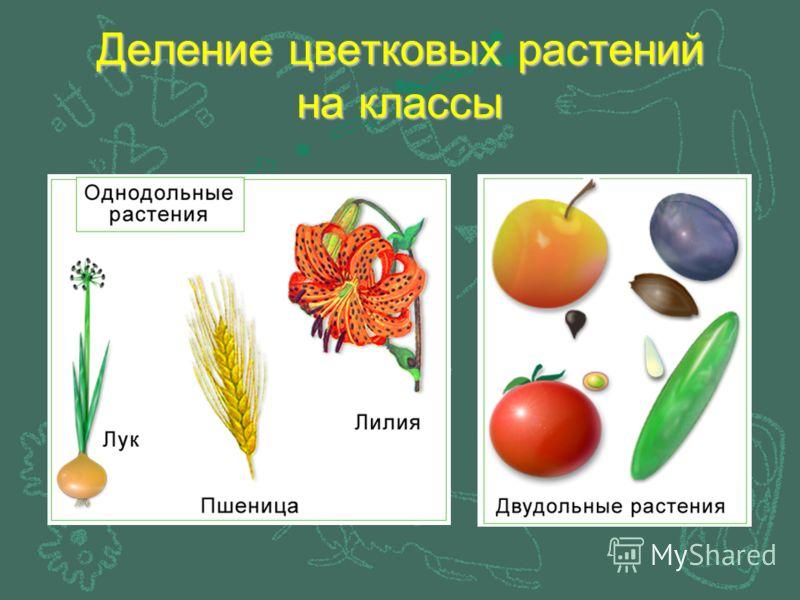 Деление цветковых растений на классы