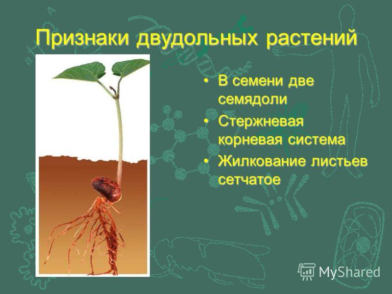Признаки двудольных растений В семени две семядоли Стержневая корневая система Жилкование листьев сетчатое