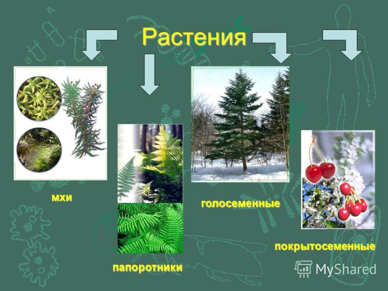 Растения мхи папоротники голосеменные покрытосеменные