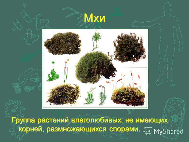 Мхи Группа растений влаголюбивых, не имеющих корней, размножающихся спорами.