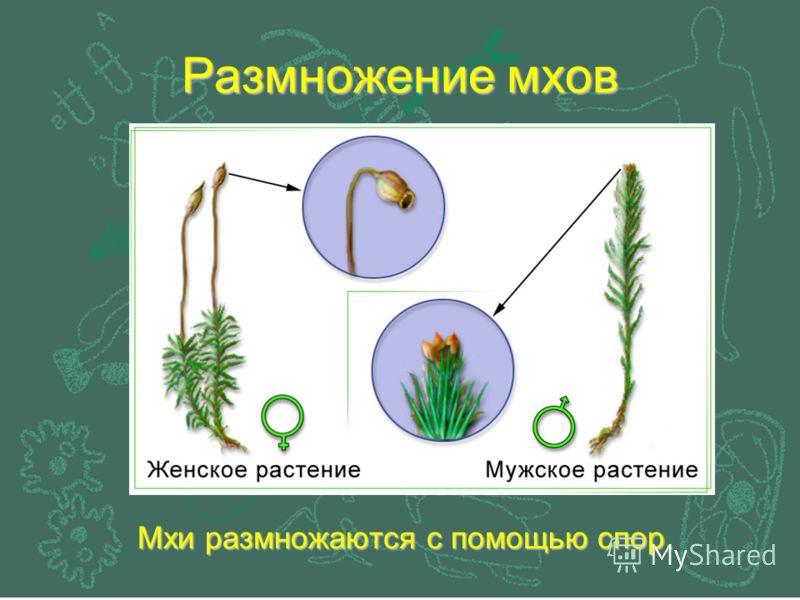 Размножение мхов Мхи размножаются с помощью спор.