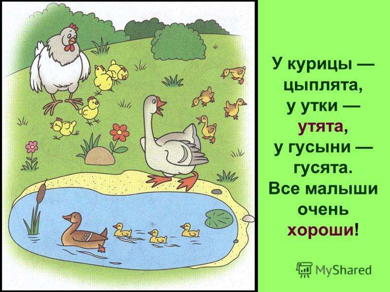 У курицы цыплята, у утки утята, у гусыни гусята. Все малыши очень хороши!