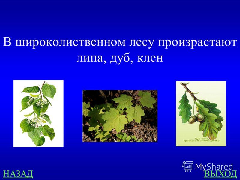 ЗОНА ЛЕСОВ 300 Из предложенного списка выбери названия тех деревьев, которые произрастают в широколиственном лесу: ПИХТА, БЕРЁЗА, ЛИПА, ОЛЬХА, ДУБ, СОСНА, ЛИСТВЕННИЦА, КЛЁН