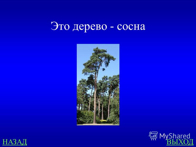 Зона лесов 500 Назови дерево: «Высокое, стройное, с желтовато- красноватой или бурой корой. Ветви только на вершине. Хвоинки длинные, расположены попарно. Шишки маленькие, округлые.