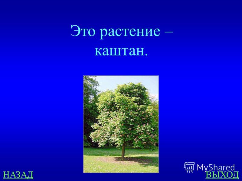 У ЧЁРНОГО МОРЯ 500 Какое растение описывается так: дерево-долгожитель, достигает в высоту дл 35 метров, листья продолговатые с зубчиками, плоды употребляются человеком в пищу?