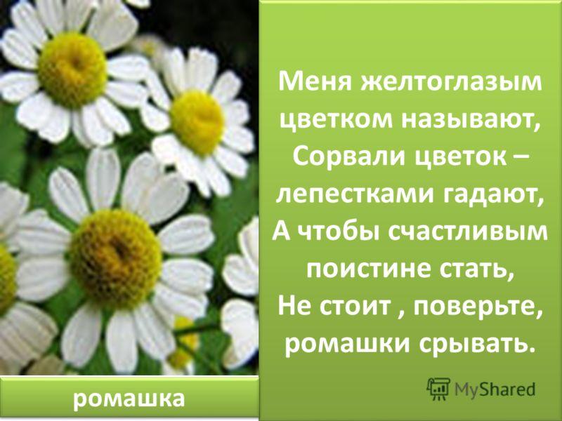 Меня желтоглазым цветком называют, Сорвали цветок – лепестками гадают, А чтобы счастливым поистине стать, Не стоит, поверьте, ромашки срывать. ромашка