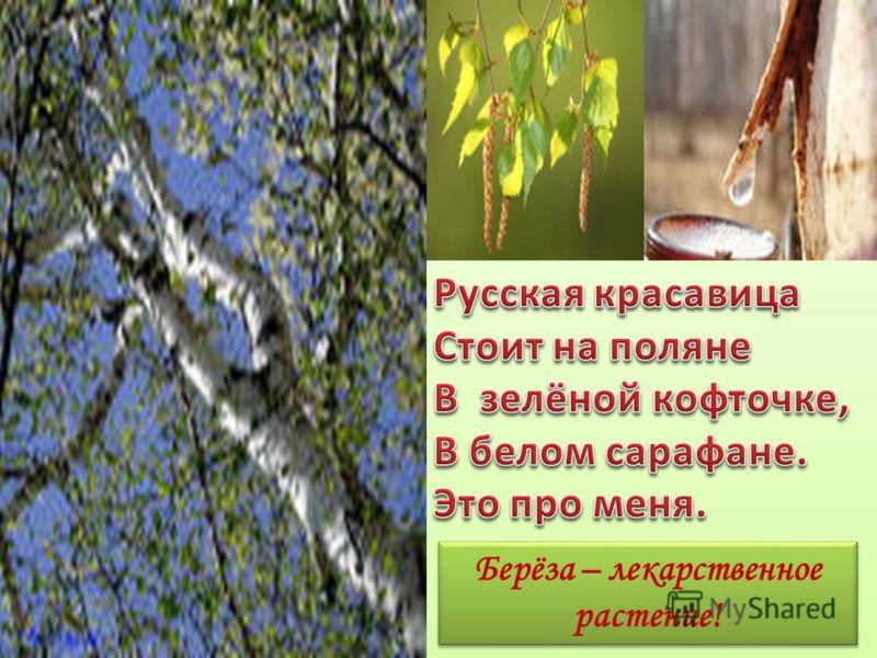 Берёза – лекарственное растение!