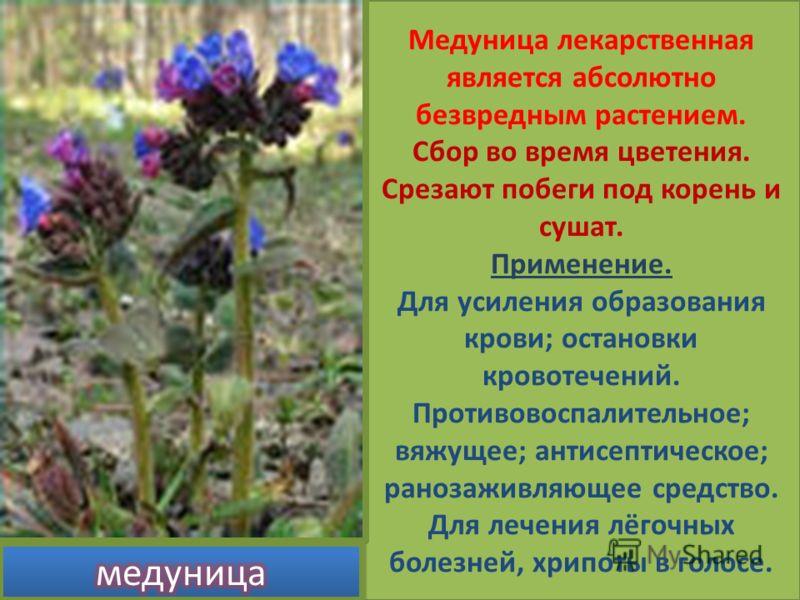 Медуница лекарственная является абсолютно безвредным растением. Сбор во время цветения. Срезают побеги под корень и сушат. Применение. Для усиления образования крови; остановки кровотечений. Противовоспалительное; вяжущее; антисептическое; ранозаживл