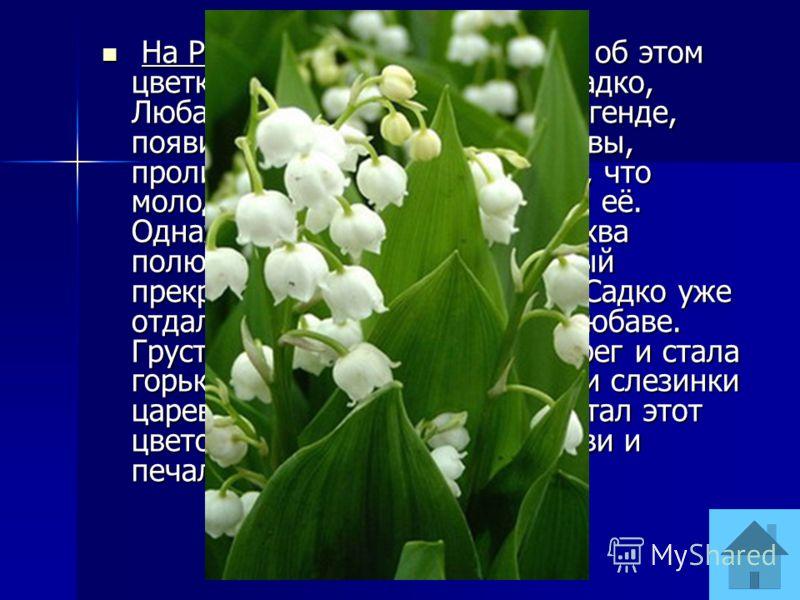 На Руси существовала легенда об этом цветке, связанная с именами Садко, Любавы, Волхвы. Цветок, по легенде, появился из слёз царевны Волхвы, пролитых ею, когда она узнала, что молодой купец Садко разлюбил её. Однажды морская царевна Волхва полюбила ю