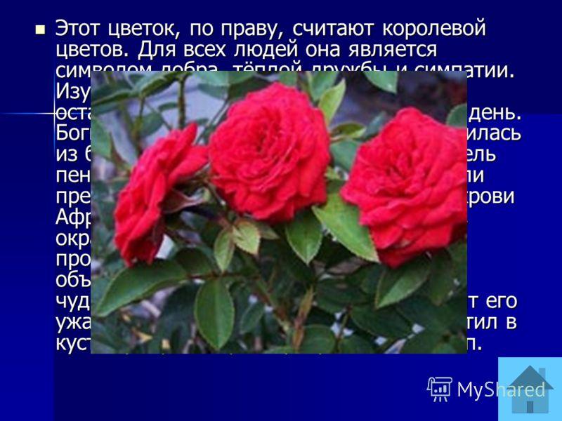 Этот цветок, по праву, считают королевой цветов. Для всех людей она является символом добра, тёплой дружбы и симпатии. Изумив своей красотой древних, она осталась всеобщей любимицей и по сей день. Богиня любви и красоты Афродита появилась из белоснеж